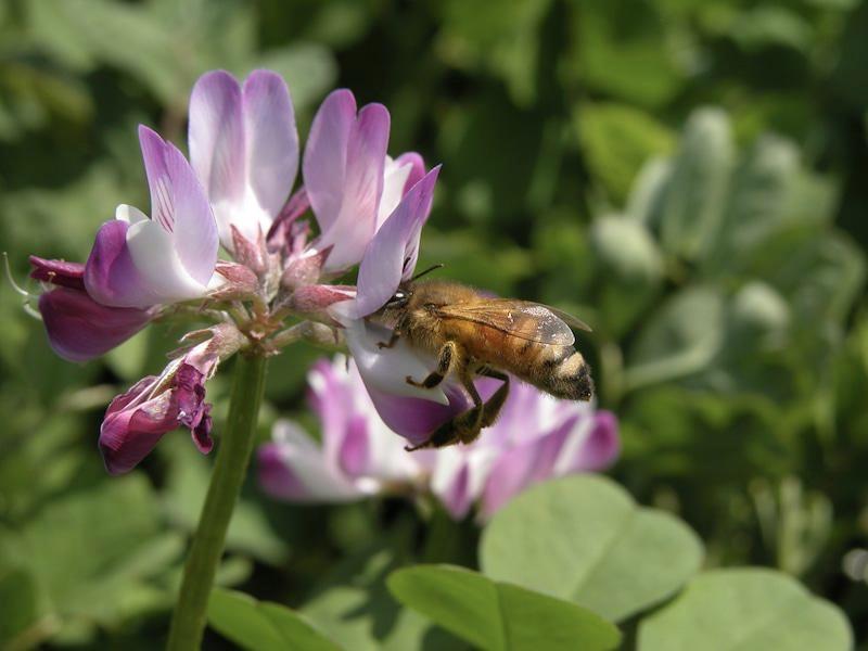 色々なお花畑を巡って、ミツバチがお花の蜜を集める