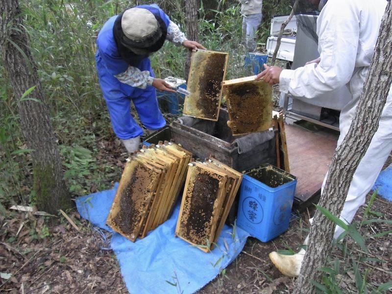 養蜂家がはちみつの貯まっている巣を包丁できり放す